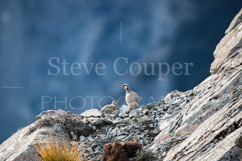 New Zealand Chukar