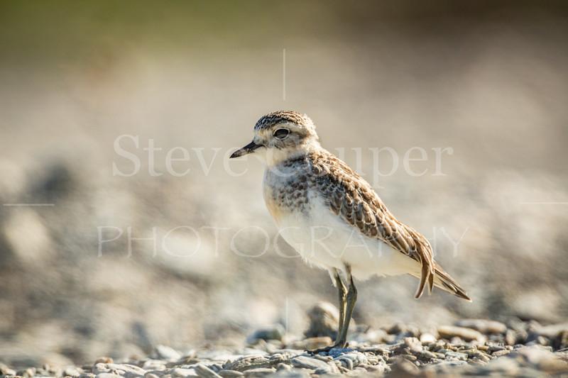 Juvenile New Zealand Dotterel