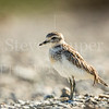Juvenile New Zealand Dotterel