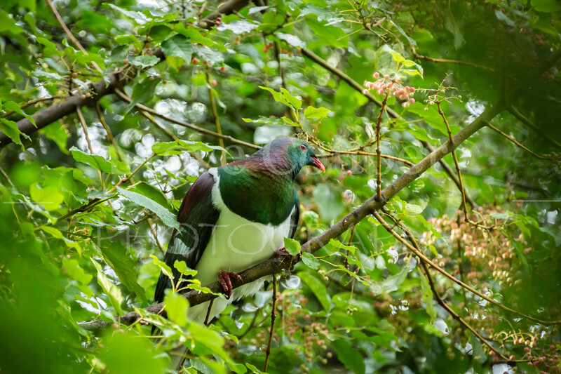 Native Wood Pigeon.