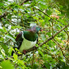 Native Wood Pigeon.