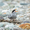 New Zealand Black Fronted Tern