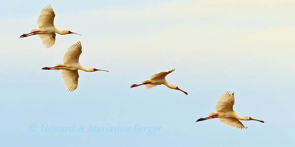In  the early morning African Spoonbills (Platalea alba) fly in formation over Lake Manyara in Tanzania