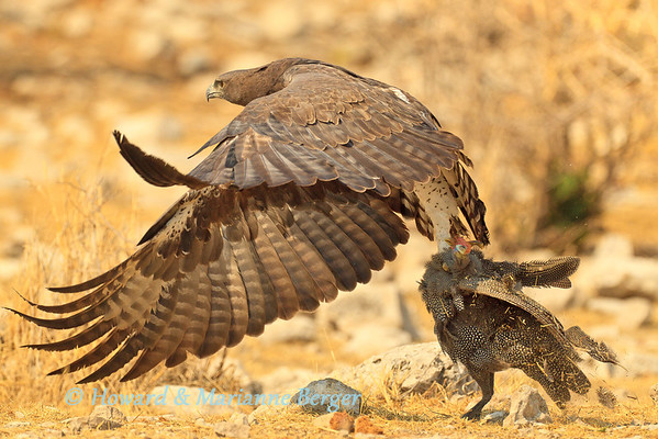 An alarmed flock of guinea fowl (Numida meleagris) took to flight at Kalkheuvel waterhole in Etosha, Namibia. We then saw the martial eagle (Polemaetus bellicosus) spreading his magnificent wings to take off with his grabbed victim