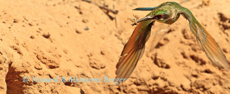 At Polentswa camp in the Kgalagadi Transfrontier Park a Swallow-tailed bee-eater (Merops hirundineus) makes a beeline to its nest in an embankment carrying back a damselfly for its nestlings. The bird seemed inexhaustible as he carried on collecting a varied array of insects to feed its young