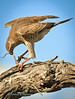 Near Namutoni, Etosha National Park, Namibia, an immature Pale Chanting Goshawk (Melierax canorus),  finishes devouring a lizard.
