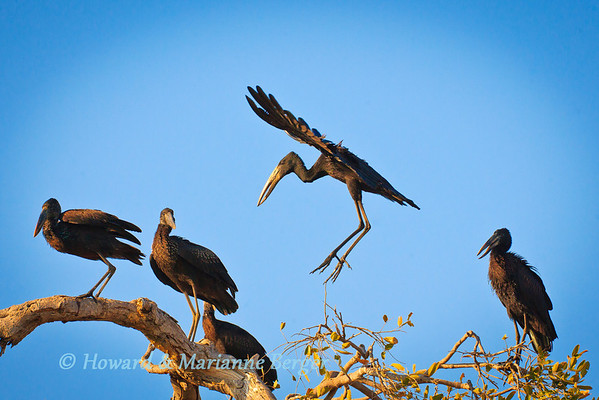 A flight of African open-bill storks (Anastomus lamelligerus) find a perch in a tree in Chobe National Park, Botswana