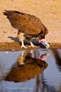Lappet faced vulture (Torgos tracheliotos), drinking at waterhole along Boteti river, near Xhumaga camp, Makgadikgadi Pans, Botswana