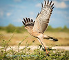 An immature, Pale Chanting Goshawk (Melierax canorus), takes to thae air in the Etosha National Park, Namibia,