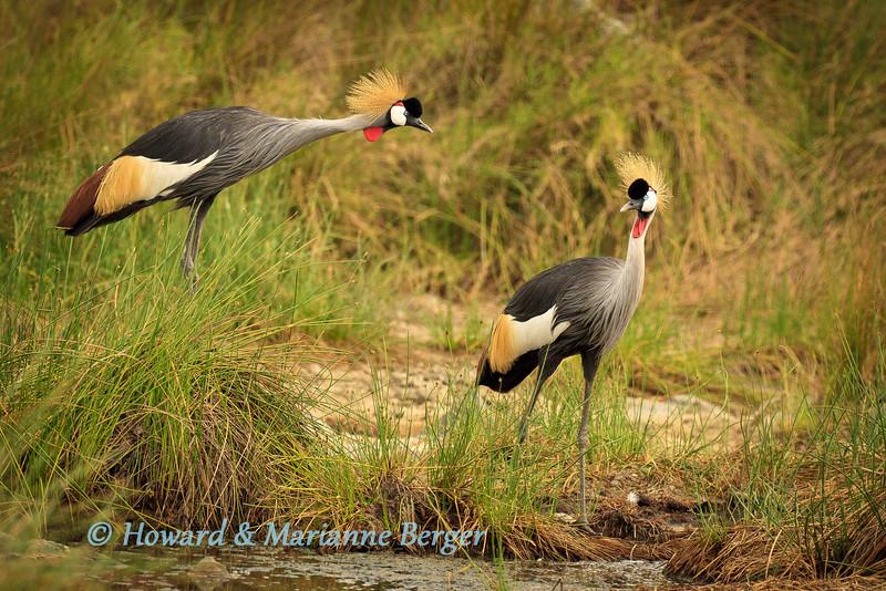Grey Crowned Cranes (Balearica regulorum) patrolling the edge of the river
