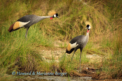 Grey Crowned Cranes (Balearica regulorum) patrolling the edge of the river