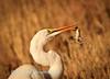 Great Egret (Ardea alba) catches lizard at  Sitzas waterhole, Kgalagadi Transfrontier Park, South Africa.
