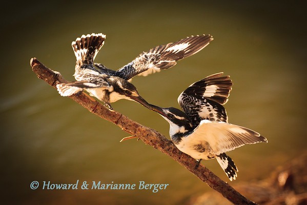 On the Zambesi river a Pied Kingfisher (Ceryle rudis), feeding  her rapidly growing nestling, returned without a fish on this occasion. (Kalizo Lodge, Caprivi Strip, Namibia).