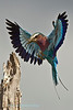 After many near photographic misses the  lilac breasted roller (Coracias caudatus), gave a helping hand and came in to land  at the correct angle and into the rising sun. He had caught a damsel fly