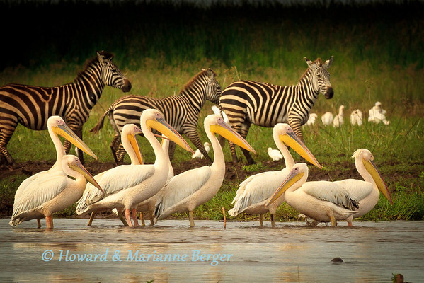 Great White Pelicans (Pelecanus onocrotalus) at Lake Manyara, Tanzania