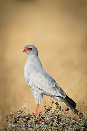 Pale Chanting Goshawk (Melierax canorus) searches from its lookout perch for its next meal (Etosha National Park, Namibia)