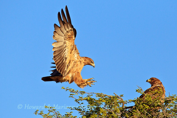 We came across this pair of Tawny eagles (Aquila rapax) in the golden light of early morning at Cheleka water hole in Kgalagadi Transfrontier Park in South Africa. The take off of the bird was not into the sun and I failed to capture it, but to my surprise and pleasure the eagle returned, from its brief excursion. The eagle landed  with outstreched wings and talons glowing in the sun.  bird, He proudly displays ferocity, power, beauty, and grace to the waiting mate.