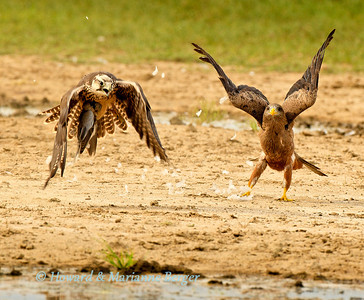 At Polentswa water hole in Kgalagadi Transfronier Park in South Africa the Lanner Falcon (Falco biarmicus) had just caught a Cape turtle  dove (Streptopelia capicola). The yellow billed kite  (Milvus aegyptius) muscled his way in to try and steal the kill. After a brief tug of war the triumphant falcon flew off with his prize, leaving the indignant kite behind Biology Note:- The kite often attempt kleptoparasitism at this waterhole. Sometimes with success. Kleptoparasitism (literally, parasitism by theft) is a form of feeding in which one animal takes prey or other food from another that has caught it