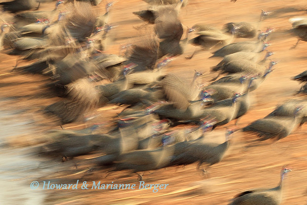 Helmeted Guinea fowl (Numida meleagris) alarmed while drinking, take to flight at Chudop waterhole, Etosha National Park, Namibia,