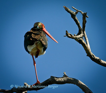 Black Stork (Ciconia nigra) perched on one leg in a high tree in Kruger National Park, South Africa