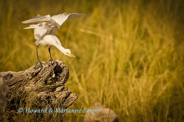 Cattle Egret (Bubulcus ibis) protested when other birds wanted to land on his perch at Goas waterhole, Etosha nationalPark, Namibia