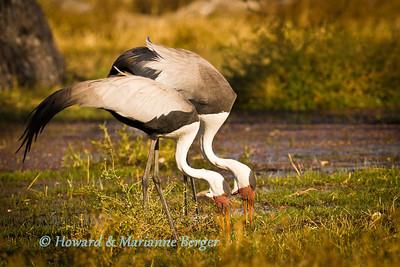 Wattled Crane (Bugeranus carunculatus) feeding at Paradise pool near Xakanaxa camp, Moremi, Botswana