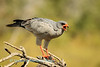 Pale Chanting Goshawk (Melierax canorus) devours a small bird it caught. Namutoni, Etosha National Park, Namibia,