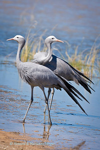 This pair of blue cranes (Anthropoides paradiseus), were seen at Fischer's pan, Etosha National Park, Namibia