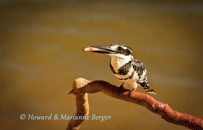 Pied Kingfisher (Ceryle rudis) proudly demontrates his catch (Kalizo Lodge, Zambesi river, Caprivi strip, Namibia).
