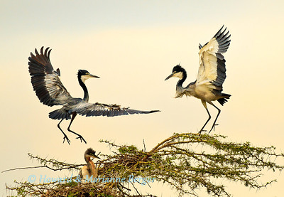 Although the heronry was small, it was very busy with a lot of incoming and outgoing traffic as birds came and went. The nesting birds seemed to resent the returning birds choice of landing place. These black headed herons (Ardea melanocephala) were nesting along the Seronera river in the Serengeti National Park, Tanzania
