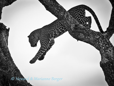 A leopard (Panthera pardus), leaps to another limb as he  searches for a more comfortable resting place in his tree, along the Seronera river, Serengeti National Park,Tanzania