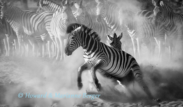 At a water hole along the dry Boteti river, a  herd,, zebra (Equus quagga burchellii) have ringside seats to watch two stallions jousting. (Xhumaga camp,  Makgadikgadi  Pans, Botswana,