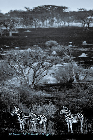 Zebra (Equus quagga burchellii) stand in the charcoal veld after a  fire in Spioenkop Dam Nature Reserve, KwaZulu Natal, South Africa,. The white and black zebra stripes are accentuated by the charcoal background.