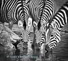 Zebra (Equus quagga burchellii) drinking at Boteti river, Xhumaga, Botswana