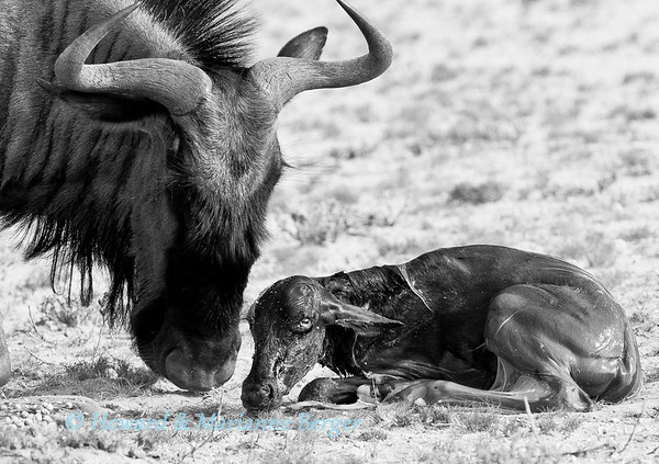 In Kgalagadi Transfrontier Park  in South Africa we saw the birth of a blue wildebeest (Connochaetes taurinus) A few minutes before the mother had been strolling and grazing with the rest of the herd. Then she lay down and gave birth to the calf, clothed in glistening birth membranes. A  half hour later the calf was standing and drinking from his  mother