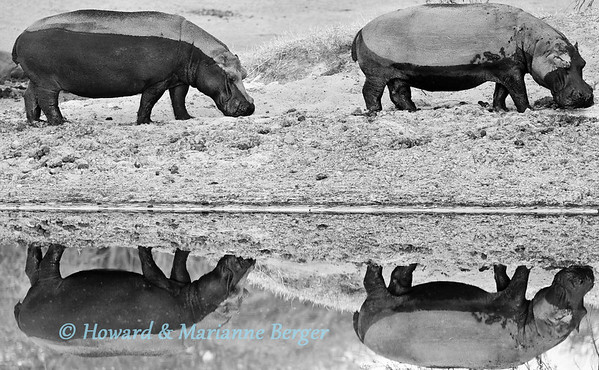 At sunrise at a water hole along the dry Boteti river near Xhumaga  in Makgadikgadi pans in Botswana the hippo pod slowly began to wake up. These two large hippos were the first to head for the water and break the glassy surface