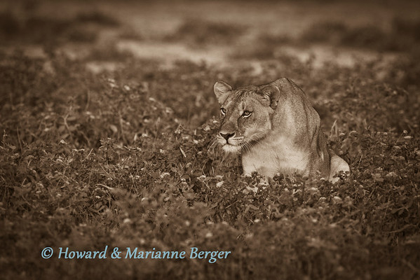 Lioness  (Panthera leo) ways up her chances of success. with distant preyNamutoni, Etosha National Park,  Namibia,