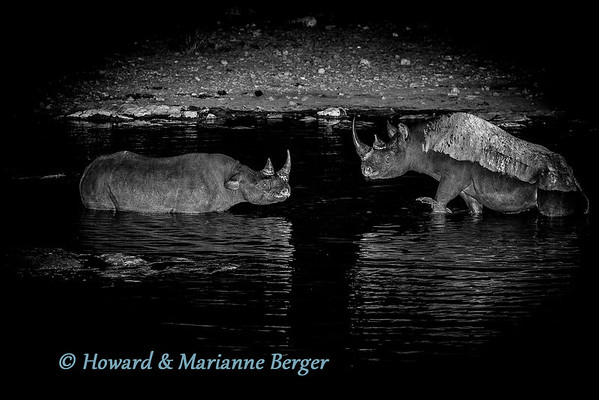 "It was a ""rumble in the jungle!. Two black rhinoceroses  (Diceros bicornis bicornis), had an hour long fight, in the water and on the rocks  of Moringa waterhole, Halali camp, Etosha National Park, Namibia. At around 2am I awoke in our roof top tent to loud strange roaring coming from the direction of Moringa waterhole. I was worried about going to take photos as I thought the animal making this terrible noise could be on the now deserted viewing point on the rocks above the waterhole. I was relieved to find a watchman at the entry steps, and we both carefully went up the walkway. These two black rhinoceroses(Diceros bicornis),   were having a ferocious battle with the one on the right repeatedly attacking,  launching himself like a giant battleship. After an hour he peacefully went off."