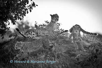 The mother cheetah (Acinonyx jubatus) and her two cubs were lying peacefully on a small mound when suddenly one cub triggered a game of chase