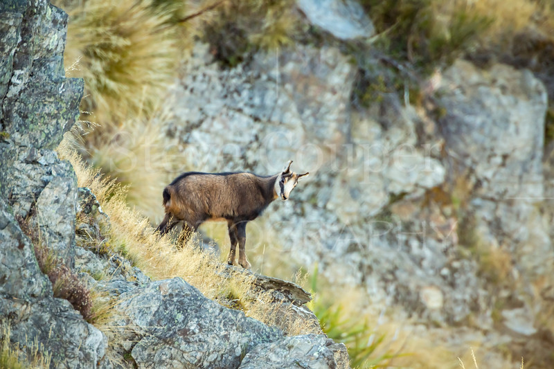 Young Chamois
