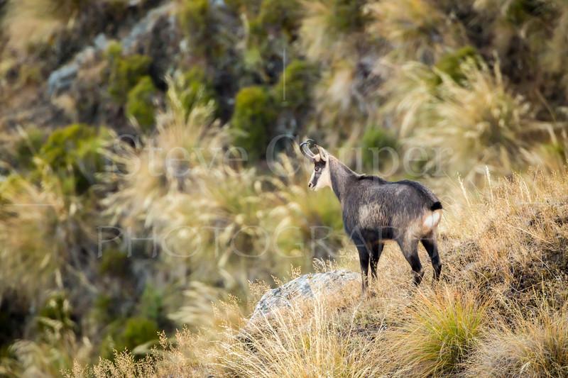 New Zealand Chamois