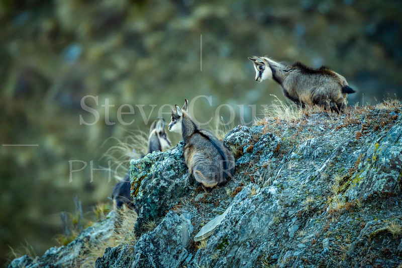 Young New Zealand Chamois