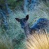 Young Fallow