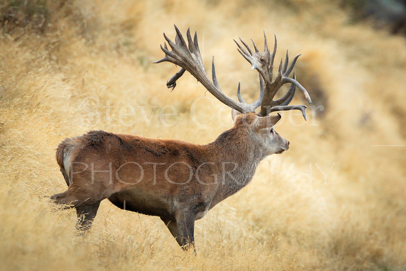 Multi Point Red Stag
