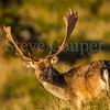 Trophy Fallow Buck
