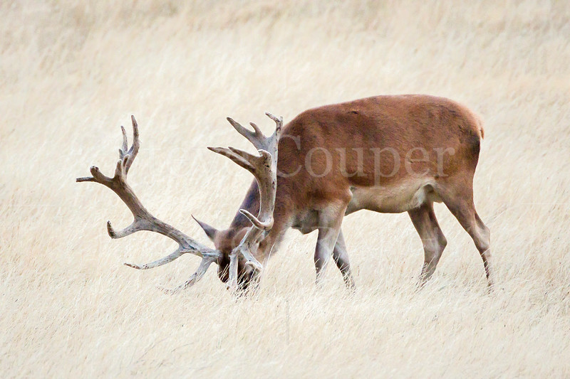 Pot Belly Stag