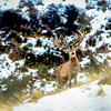 Red Stag in the snow