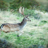 Flying Fallow Buck