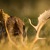 Feeding Fallow Buck