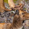Extreme Close up of Fallow Buck